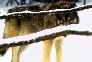 wolf-590752_1280